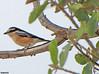 Masked Shrike by Tevaironi