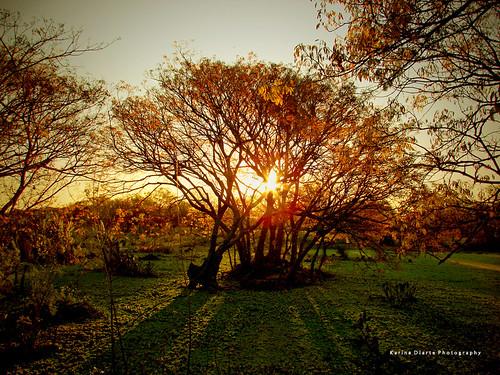 paraguay cathormionpolyanthum