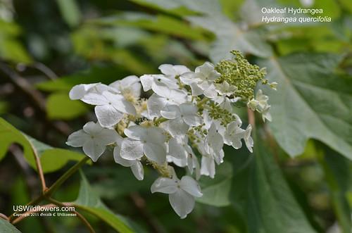 Oakleaf Hydrangea - Hydrangea quercifolia