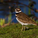 Killdeer by Bothering Birds