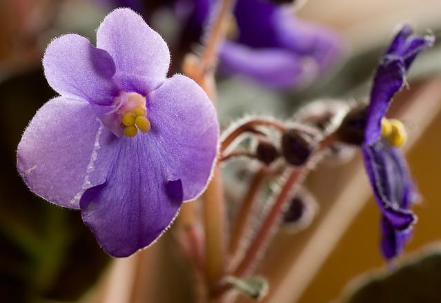 Violetas / Violets
