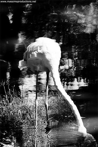 Flamingo B&W