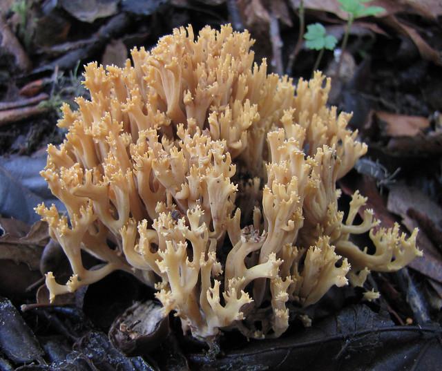 yellow coral - ramaria rasilispora