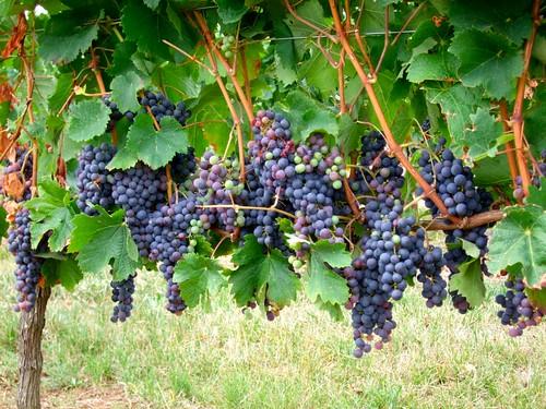 French Vineyard Grapes