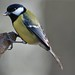 great tit by sure2talk
