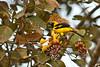 Yellow-tailed Oriole by sjdavies1969