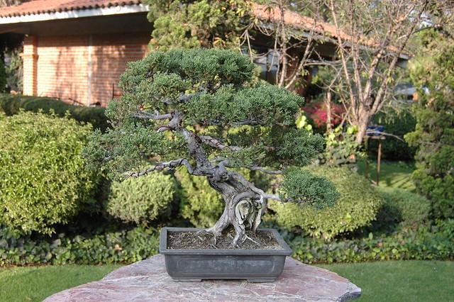 annaffiatura, potatura, ficus, bonsai
