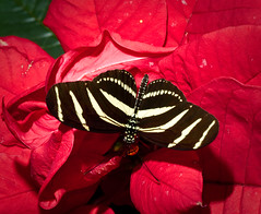 zebra butterfly on red
