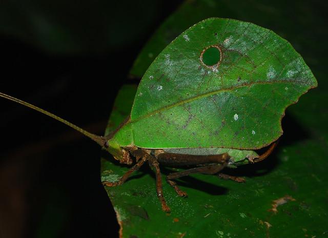 Leaf-imitating katydid