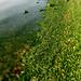 Thu, 22/06/2006 - 18:28 - Macroalgae bloom, Ulva lactuca (sea lettuce), that washed up onto the Oxford beach along the Tred Avon River (Maryland, US).Photo Credit: Emily Nauman | IAN