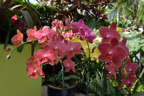 Spraying Phalaenopsis