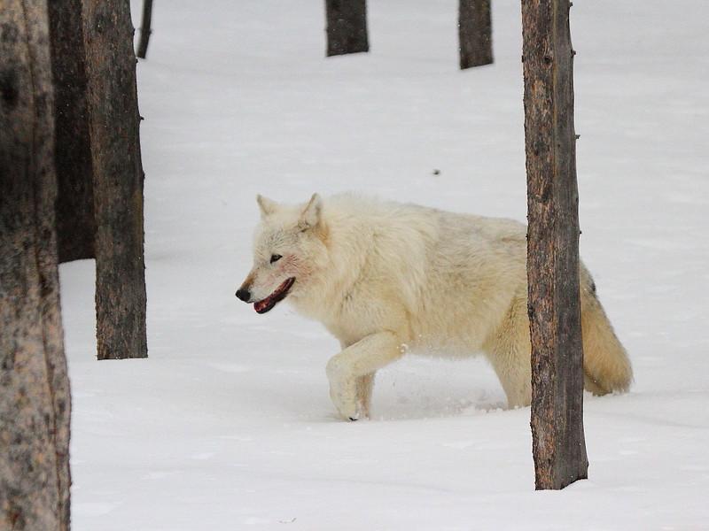 IMG_7061 Gray Wolf, Yellowstone National Park