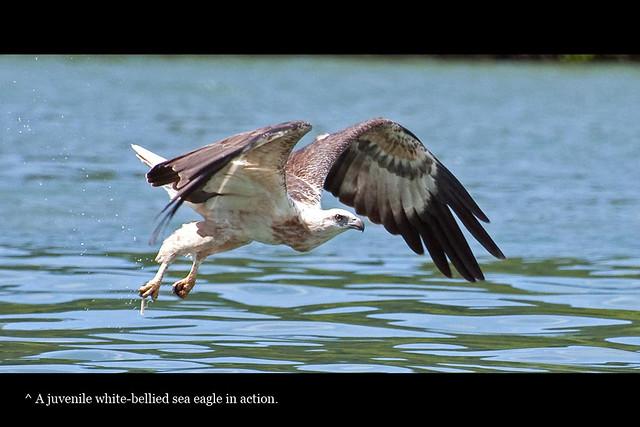 eaglewhitebelliedgrab