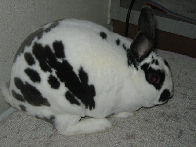 Broken Blue Mini rex rabbit | Flickr - Photo Sharing!