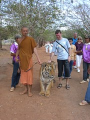 Walking with the tiger in Tiger Temple