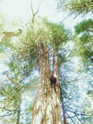 Vancouver Island Cedar Trees