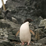 Adelie Penguin All Alone - Antarctica