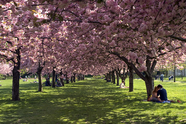 Cherry Trees in the Brooklyn Botanic Garden