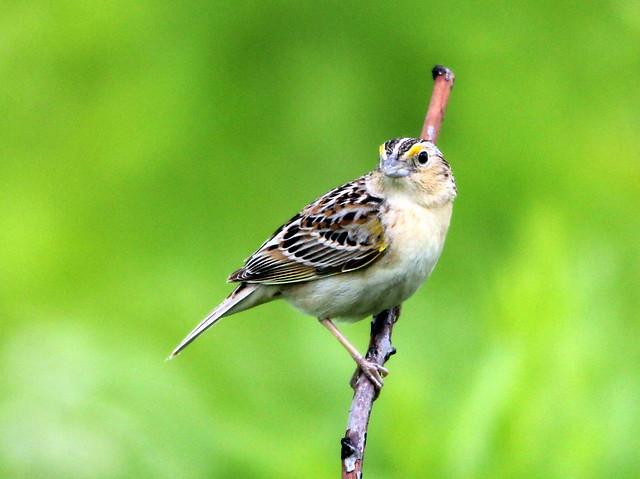 Grasshopper Sparrow 20110610