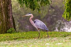 wetland(0.0), animal(1.0), nature(1.0), fauna(1.0), little blue heron(1.0), heron(1.0), pelecaniformes(1.0), beak(1.0), bird(1.0), wildlife(1.0),