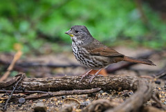 Fox Sparrow Wintertime Inceville Los Liones Canyon Los Angeles 051