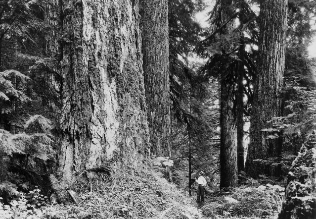 Mature Douglas fir on Black Oak Creek. Mt. Baker National Forest, Washington; September 1936; photo by E. Lindsay