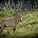 Wild Stallion/ Przewalski's Horse by mngl
