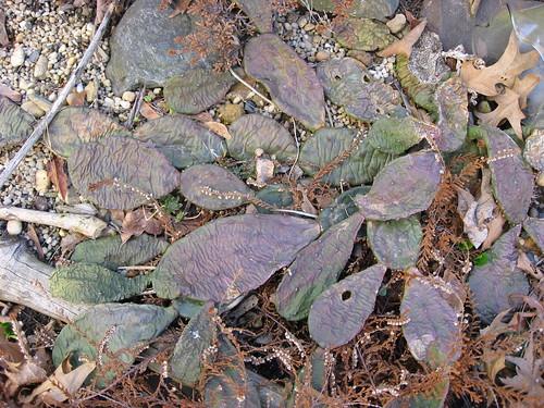 Opuntia, a Wandering Cactus