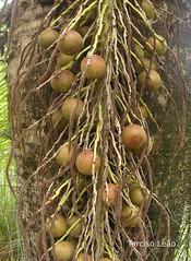 coconut(0.0), branch(0.0), bird nest(0.0), gourd(0.0), tree(1.0), cannonball tree(1.0), plant(1.0), produce(1.0), fruit(1.0), food(1.0),