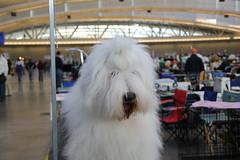 bearded collie(0.0), great pyrenees(0.0), dog breed(1.0), animal(1.0), dog(1.0), pet(1.0), coton de tulear(1.0), polish lowland sheepdog(1.0), mammal(1.0), old english sheepdog(1.0),