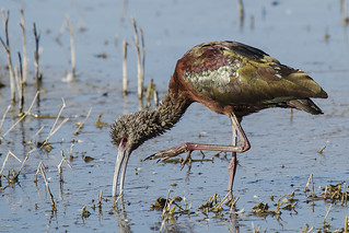 White-faced Ibis, Scratching or Feeding