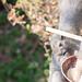 2017/02/17 (金) - 10:39 - 隣家の鳥のエサ台からちゃっかり食べている