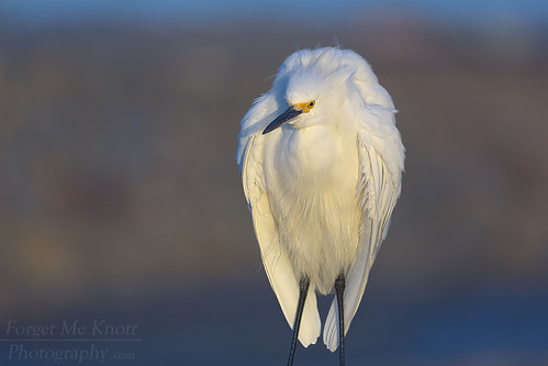 brianknott fmkphoto forgetmeknottphotography bird wildlife egret snowyegret whiteheron sunset sunrise perched wings feathers bolsachica wetlands reserve ecologicalreserve huntingtonbeach california