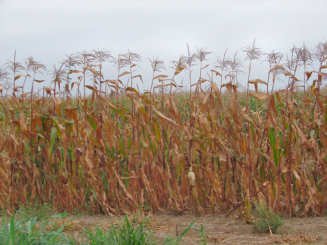 corn crop in drought (by: Cindy Seigle, creative commons)