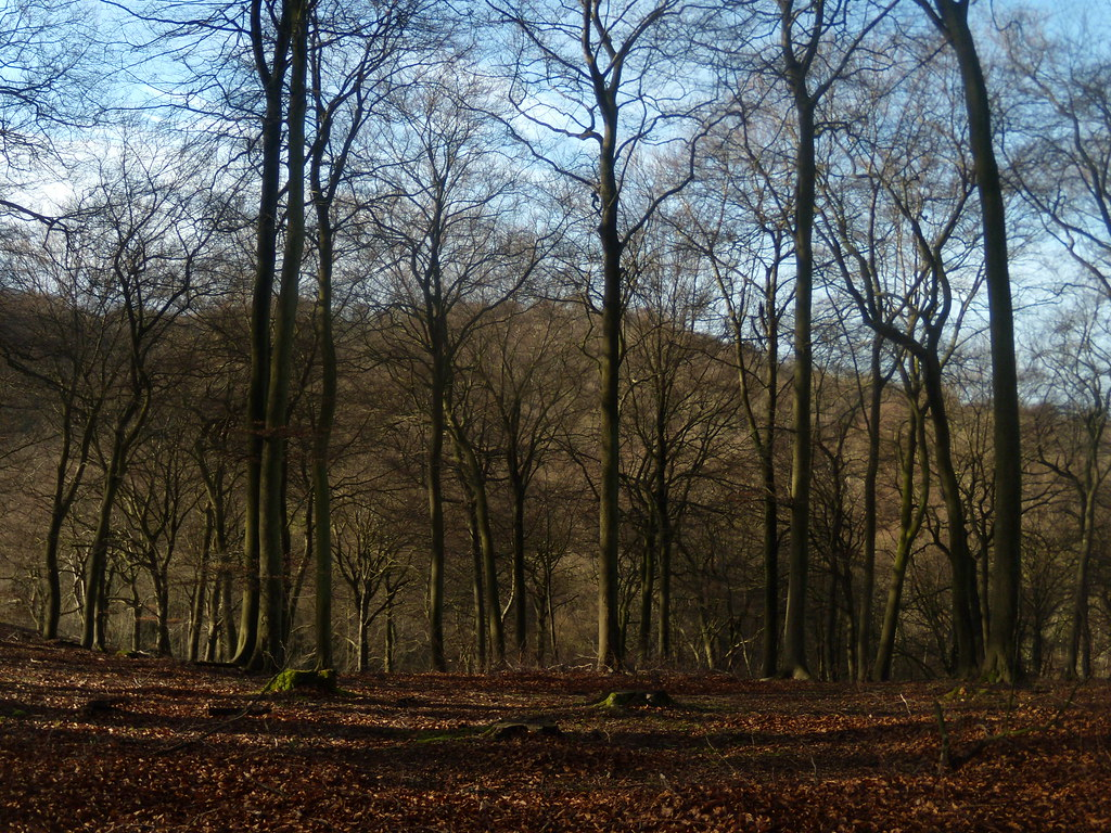 Trees in a wood Little Kimble to Saunderton