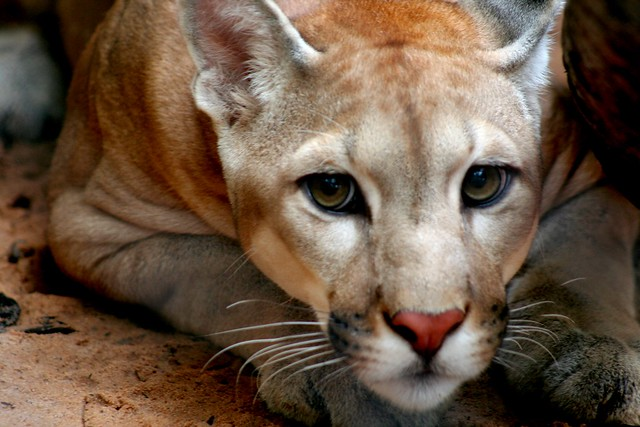 Cougar in treatment