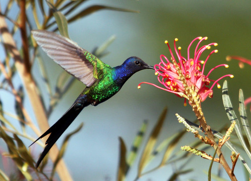 Beija-flor Tesoura - Swallow-tailed Hummingbird (Eupetomena macroura)