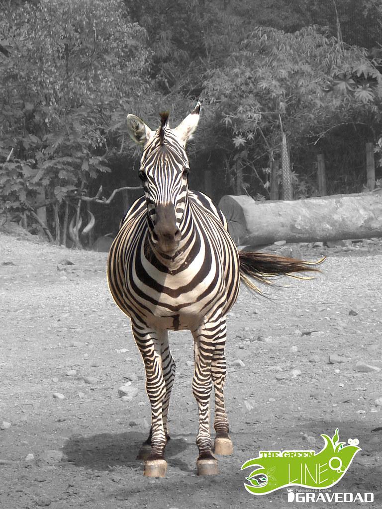 the green line Zebra | Gravedad Publicidad & Diseño | Flickr