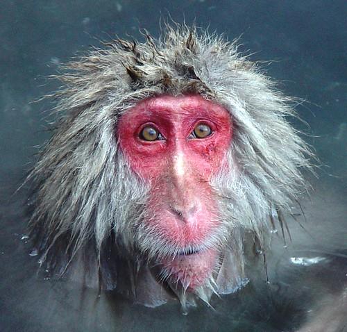 Snow Monkey in bath at Jigoku Onsen