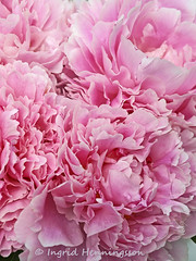 Frilly peonies