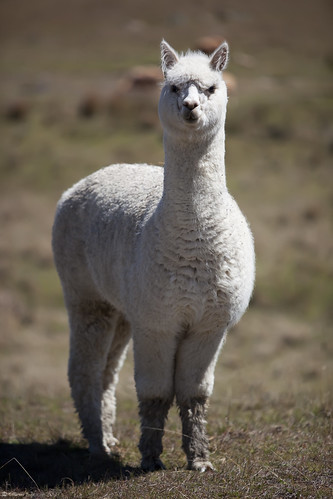 portrait alpaca nature animal fauna au australia nsw newsouthwales armidale vob digitalcameraclub vicugnapacos colorphotoaward atomicaward