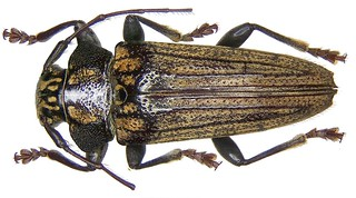 Tmesisternus venatus djampeanus Breuning, 1950