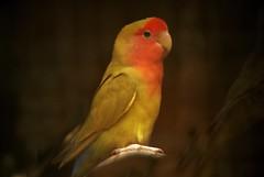 animal, lovebird, parrot, yellow, wing, fauna, finch, parakeet, beak, bird,