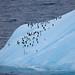 Penguins on Elephant Island by Princess Cruises