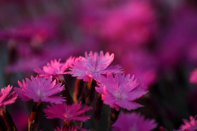 spring-dianthus-burning-witch-flower