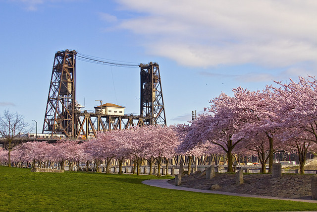 Cherry Blossom Trees and Steel Bridge - Portland Oregon