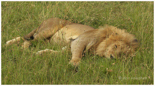 sleeping-male-lion-