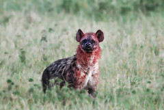 dog(0.0), pet(0.0), animal(1.0), mammal(1.0), hyena(1.0), fauna(1.0), wildlife(1.0),