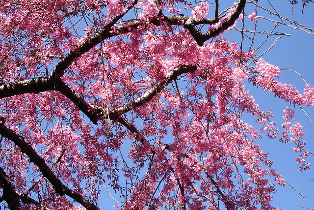 Prunus subhirtella. Photo by Dave Allen.