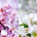 Pink sakura and white sakura. by Karaku tokyo
